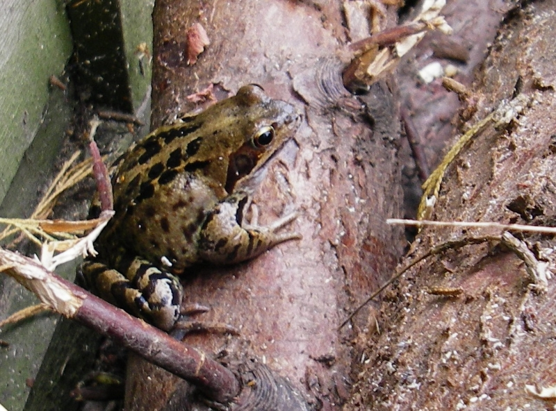 Frog in woodpile