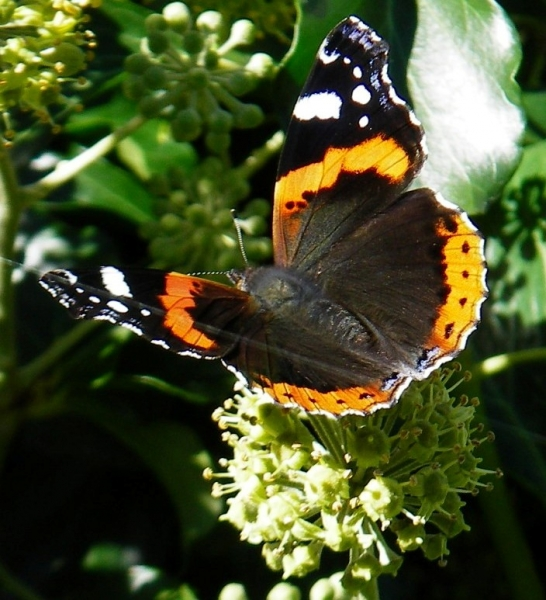 Hedera arborescens & butterfly closeup4