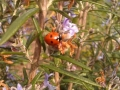 Ladybird on Rosemary