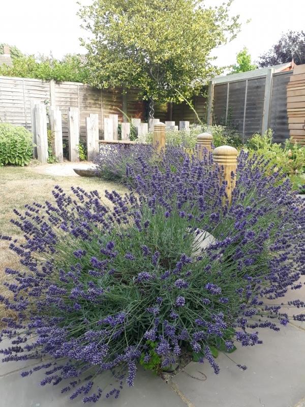 14 Lavender hedging
