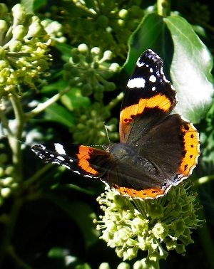 Hedera arborescens & butterfly 2a