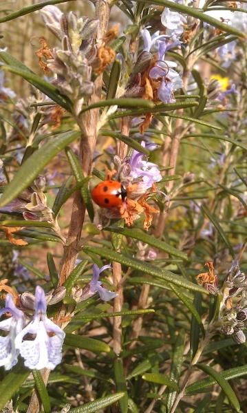 Ladybird on Rosemary